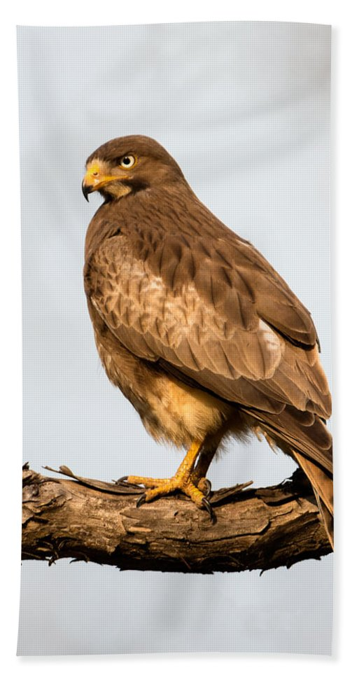 Photography Bath Sheet featuring the photograph White-eyed Buzzard Butastur Teesa by Panoramic Images