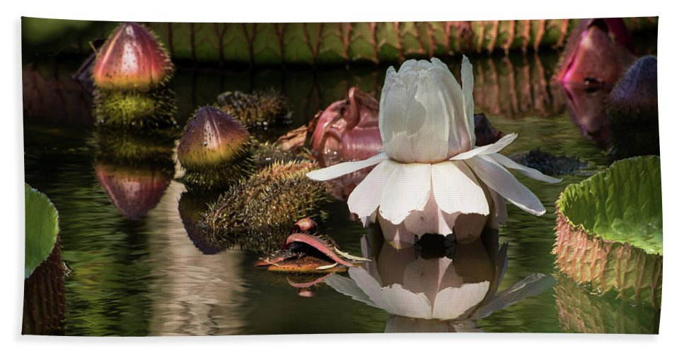 Giant Water Lily Hand Towel featuring the photograph White Giant Water Lily by Zina Stromberg