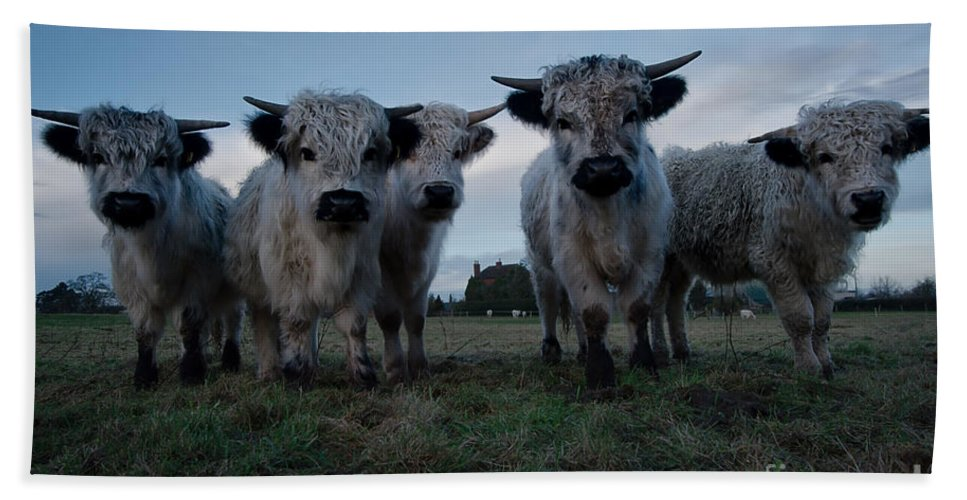 Animal Hand Towel featuring the photograph White High Park Cow Herd by MSVRVisual Rawshutterbug