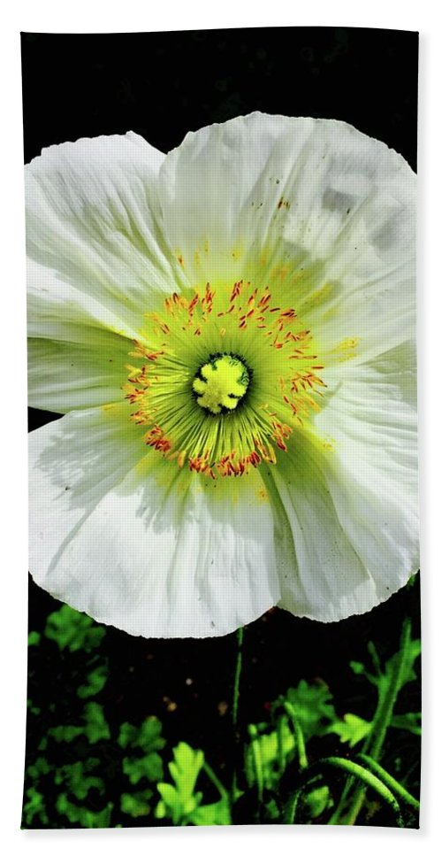 White Iceland Poppy Flower Bright Flora Temecula California Papaver Nudicaule Croceum Bath Sheet featuring the photograph White Iceland Poppy by Russell Keating