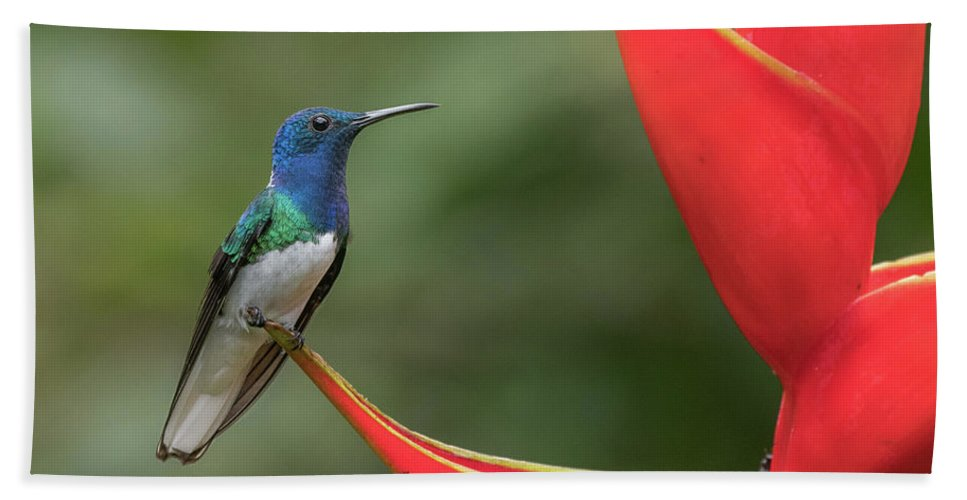 Costa Rica Bath Sheet featuring the photograph White-necked Jacobin by Mike Timmons
