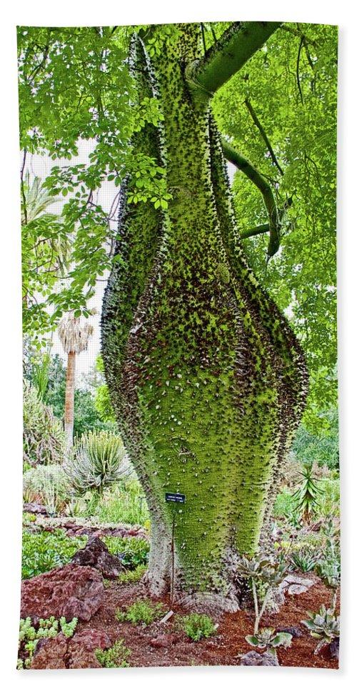 White Silk Floss Tree-chorisia Insignis-in Huntington Desert Gardens ...