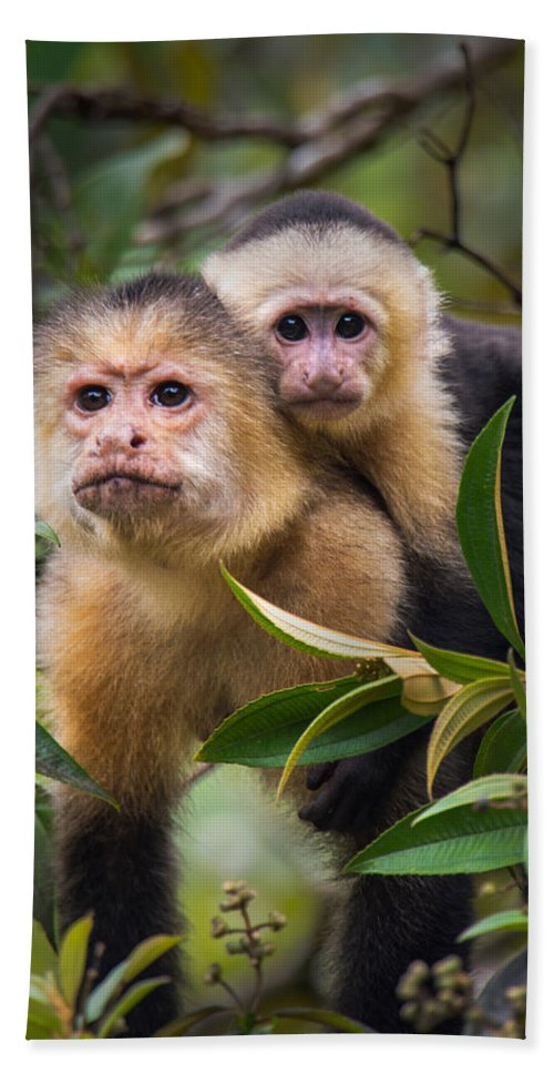 Photography Bath Sheet featuring the photograph White-throated Capuchin Monkeys Cebus by Panoramic Images