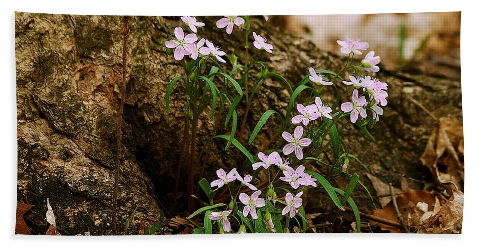 Spring Hand Towel featuring the photograph Wild Spring Beauty by Michael Peychich