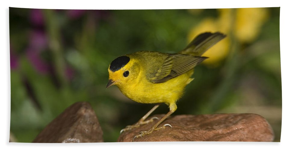 Mp Hand Towel featuring the photograph Wilsons Warbler Wilsonia Pusilla Male by Tom Vezo