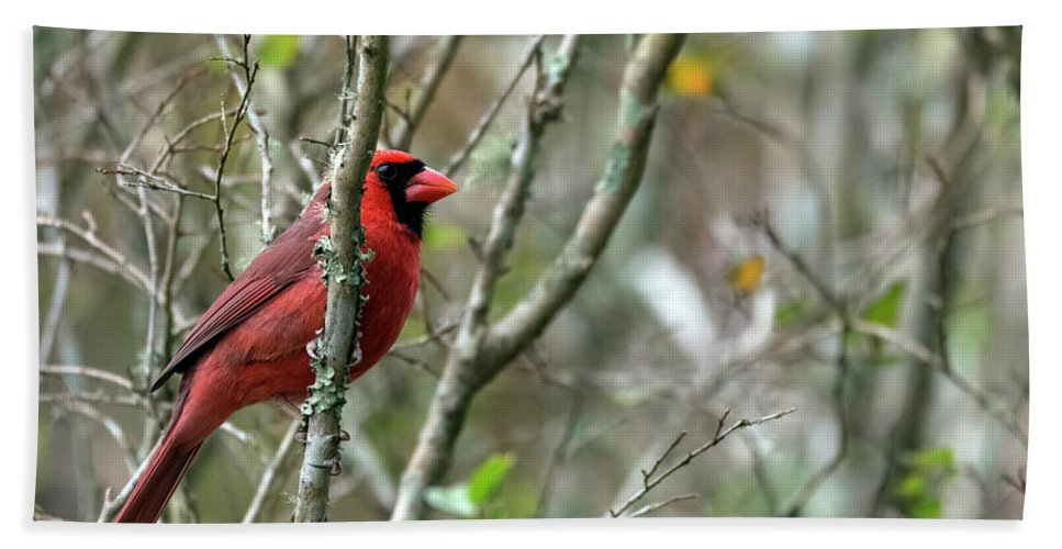 Bird Bath Sheet featuring the photograph Winter Cardinal Sits On Tree Branch by Sharon Minish