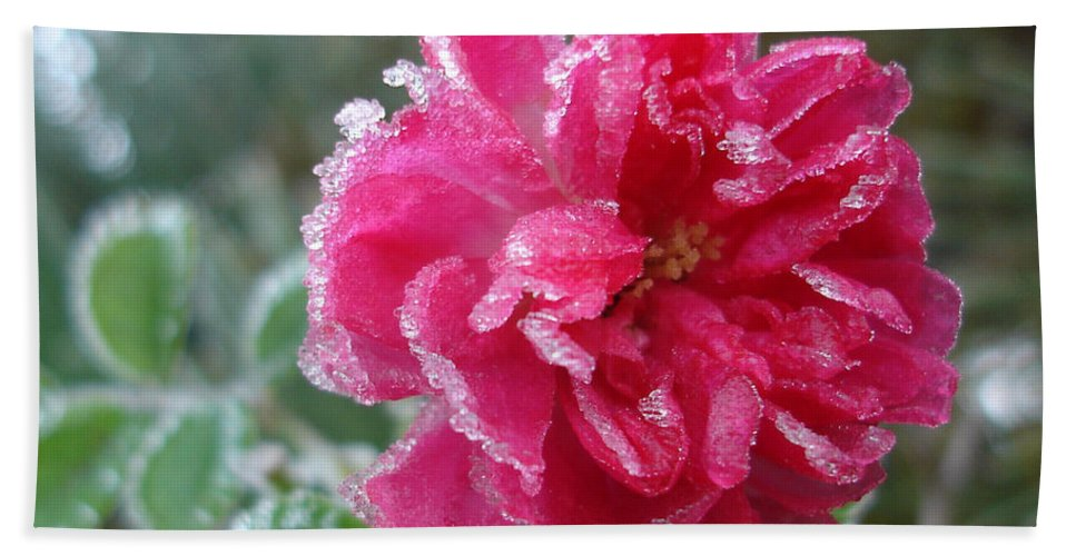 Rose Bath Sheet featuring the photograph Winter Rose by Susan Baker
