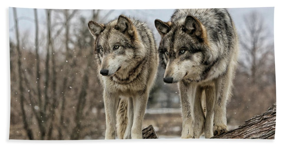 Wolf Wolves Animal Wildlife Mammal Photography Photograph Canis Lupis Grey Timberwolf Bath Sheet featuring the photograph Wolf Pair by Shari Jardina