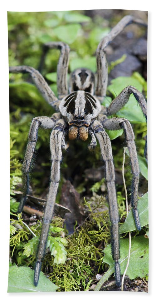 Fn Hand Towel featuring the photograph Wolf Spider Hogna Sp Male, Mindo by James Christensen
