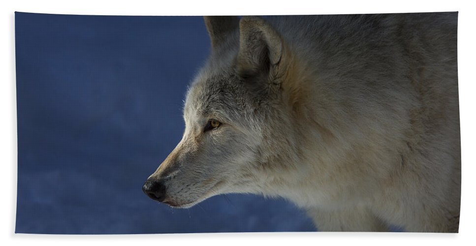 Wolf Hand Towel featuring the photograph Wolf Stare by Jeff Shumaker