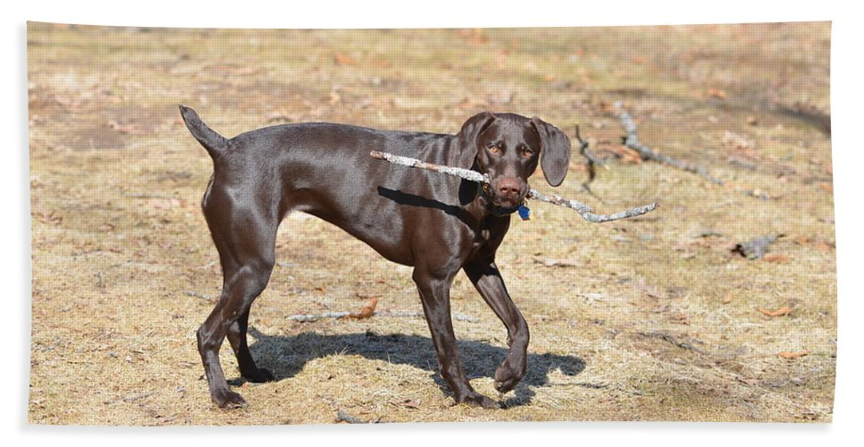 German Shorthaired Pointer Hand Towel featuring the photograph Work And Play by Tammy Mutka