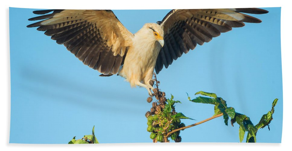 Photography Bath Sheet featuring the photograph Yellow-headed Caracara Milvago by Panoramic Images