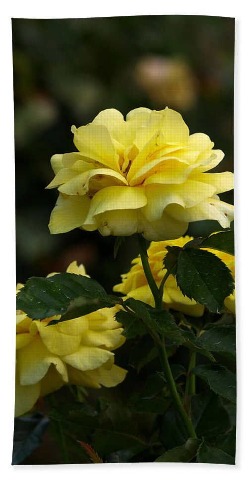 Ann Keisling Hand Towel featuring the photograph Yellow Roses by Ann Keisling
