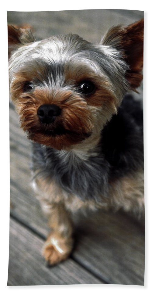 Yorkshire Terrier Puppy Hand Towel featuring the photograph Yorkshire Terrier Puppy by Sally Weigand