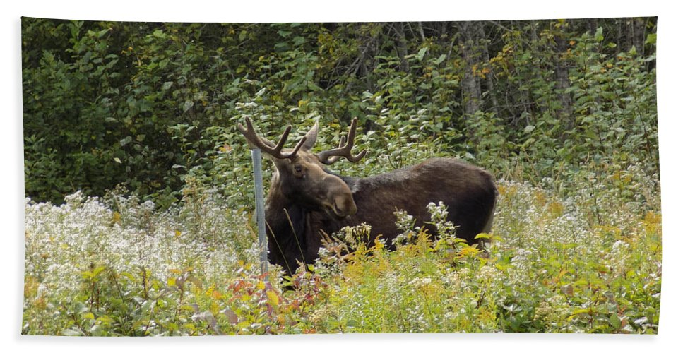 Moose Hand Towel featuring the photograph Young Male Moose by William Tasker