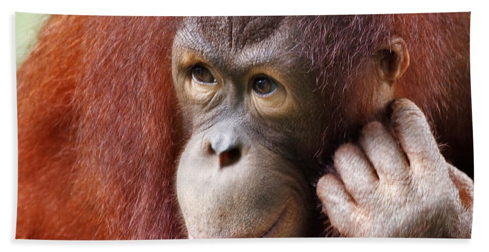 Animal Hand Towel featuring the photograph Young Orang Utan Looking Thoughtful by Louise Heusinkveld