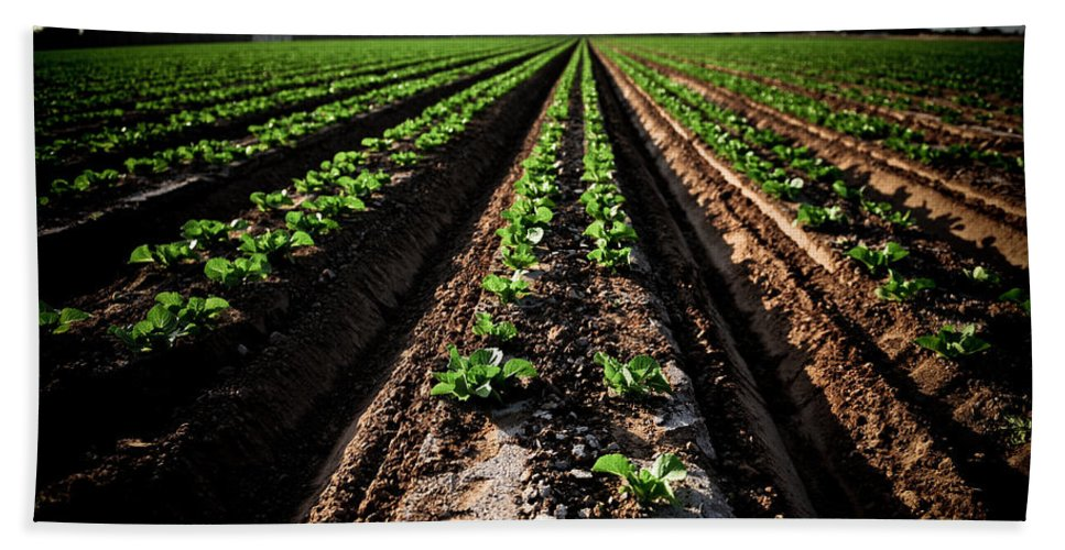 Lettuce Hand Towel featuring the photograph Yuma Lettuce by Scott Sawyer