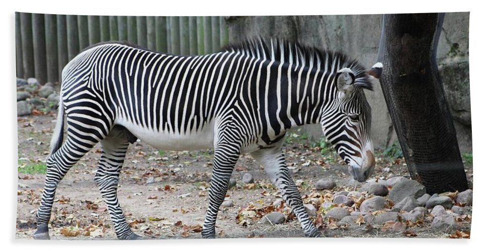 Hand Towel featuring the photograph Zebra- Lincoln Park Zoo by Rocky Washington