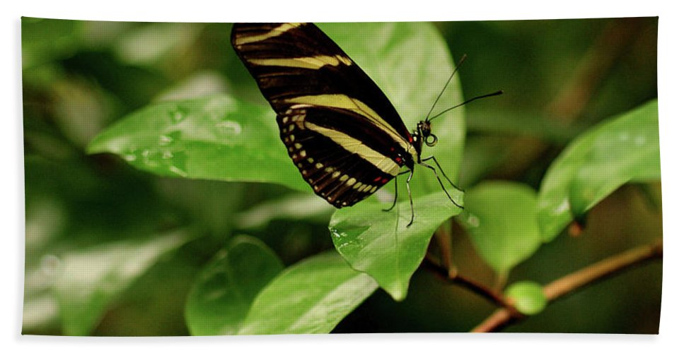 Butterfly Bath Sheet featuring the photograph Zebra Longwing Butterfly by Sandy Keeton