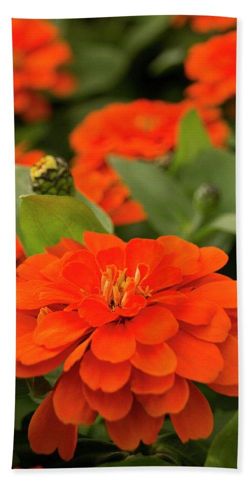 Orange Zinnia Bath Sheet featuring the photograph Zinnia Zap by Susan Wright