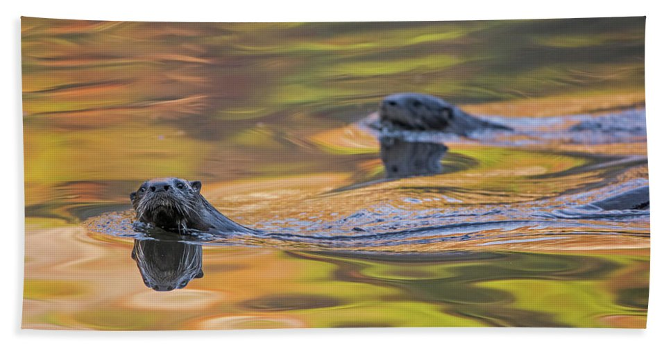 Ottercollection Bath Towel featuring the photograph North American River Otter Two Swimming, Maine, Usa by George Sanker / Naturepl.com