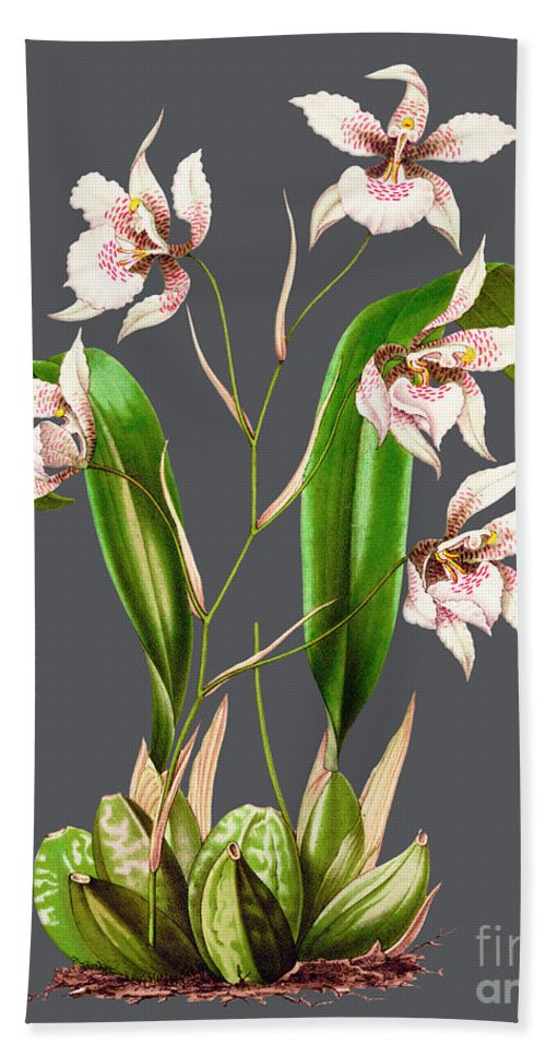 Vintage Bath Sheet featuring the drawing Orchid Old Print by Baptiste Posters