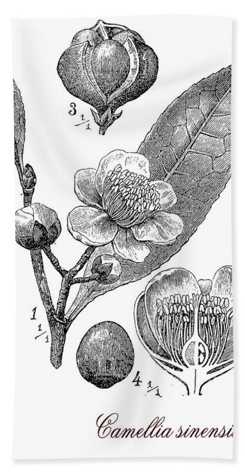 Camellia Sinensis Bath Towel featuring the digital art Camellia Sinensis, Botanical Vintage Engraving by Luisa Vallon Fumi