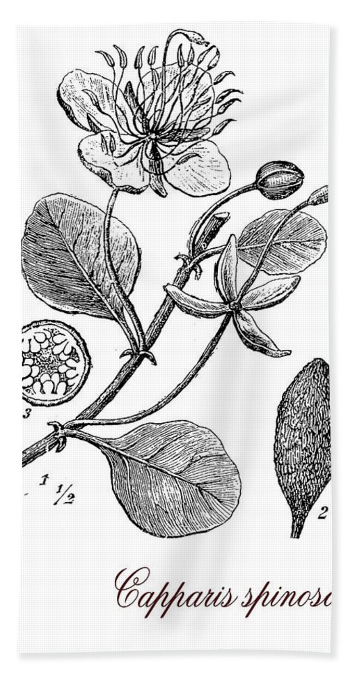Capparis Spinosa Bath Towel featuring the digital art Caper Bush, Botanical Vintage Engraving by Luisa Vallon Fumi