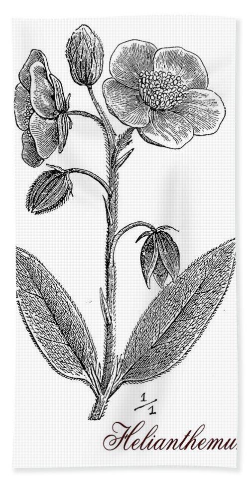 Helianthemum Bath Towel featuring the digital art Helianthemum, Botanical Vintage Engraving by Luisa Vallon Fumi