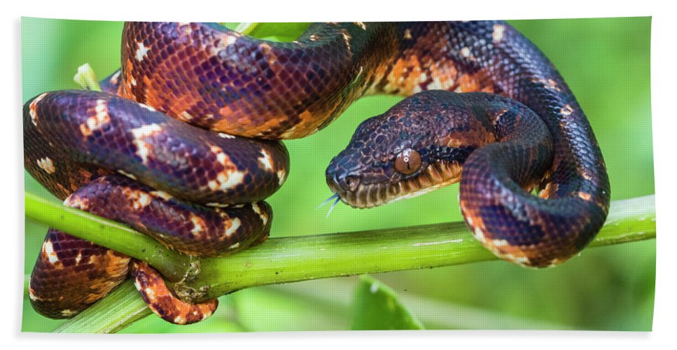 Photography Bath Towel featuring the photograph Madagascar Ground Boa Acrantophis by Panoramic Images