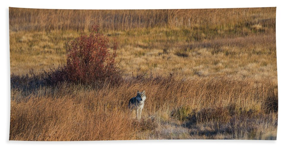 Wolf Bath Sheet featuring the photograph W2 by Joshua Able's Wildlife