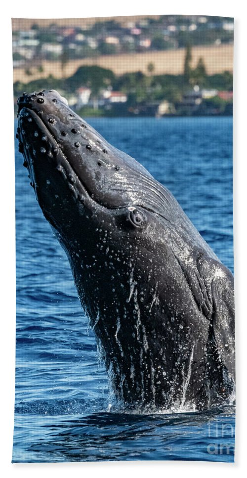 00595515 Bath Towel featuring the photograph Juvenlie Humpback Breaching by Flip Nicklin