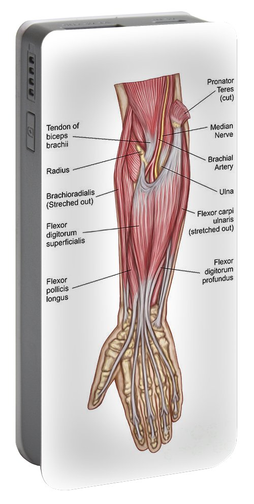 Vertical Portable Battery Charger featuring the digital art Anatomy Of Forearm Muscles, Anterior by Stocktrek Images
