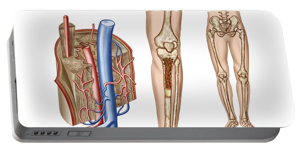 Horizontal Portable Battery Charger featuring the digital art Anatomy Of Human Bone Marrow by Stocktrek Images