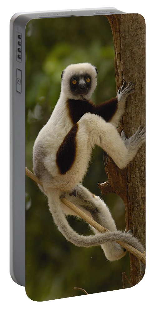 Feb0514 Portable Battery Charger featuring the photograph Coquerels Sifaka Madagascar by Pete Oxford