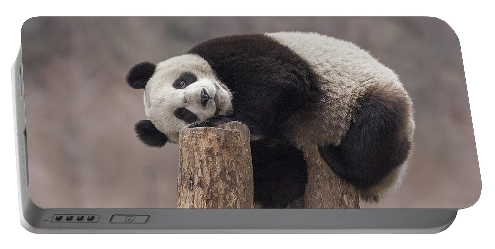 Katherine Feng Portable Battery Charger featuring the photograph Giant Panda Cub Wolong National Nature by Katherine Feng