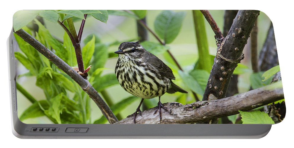 Doug Lloyd Portable Battery Charger featuring the photograph Northern Water Thrush by Doug Lloyd