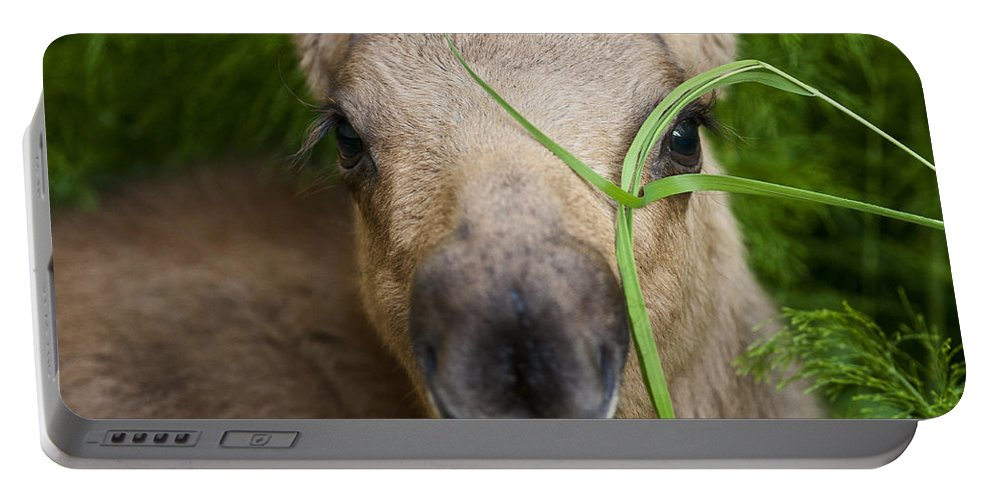Moose Portable Battery Charger featuring the photograph Peek A Boo by Ted Raynor