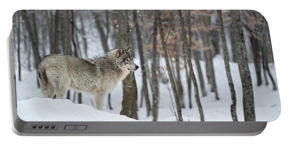 Timber Wolf Photography Portable Battery Charger featuring the photograph Timber Wolf In Winter by Wolves Only