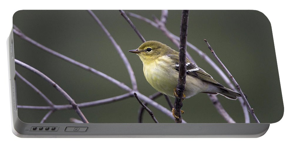 Doug Lloyd Portable Battery Charger featuring the photograph Blackpoll Warbler by Doug Lloyd