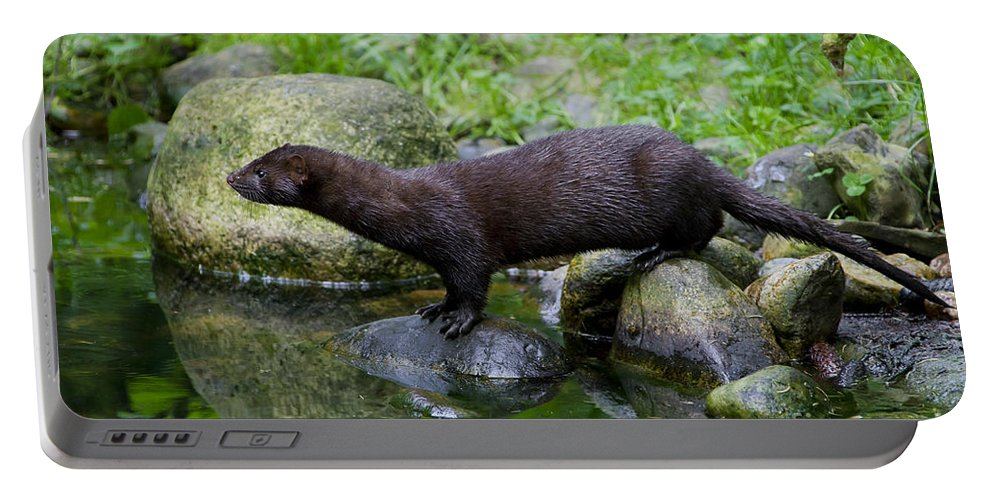 American Mink Portable Battery Charger featuring the photograph 121213p013 by Arterra Picture Library