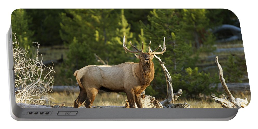 Bull Portable Battery Charger featuring the photograph Bull Elk Bugling  by Gary Langley
