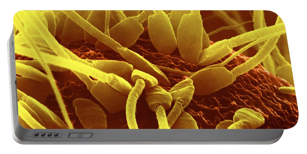 Science Portable Battery Charger featuring the photograph Fertilization In Rat Sem by David M. Phillips/The Population Council
