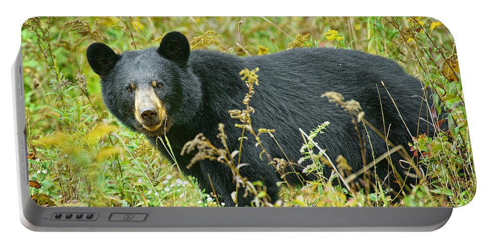 Bear Portable Battery Charger featuring the photograph Meadow Black Bear by Timothy Flanigan