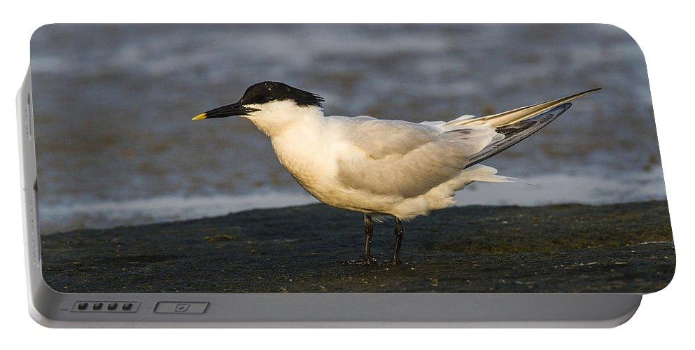Doug Lloyd Portable Battery Charger featuring the photograph Sandwich Tern by Doug Lloyd