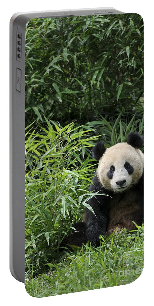 Ailuropoda Melanoleuca Portable Battery Charger featuring the photograph Giant Panda by John Shaw