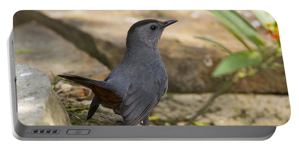 Doug Lloyd Portable Battery Charger featuring the photograph Gray Catbird by Doug Lloyd