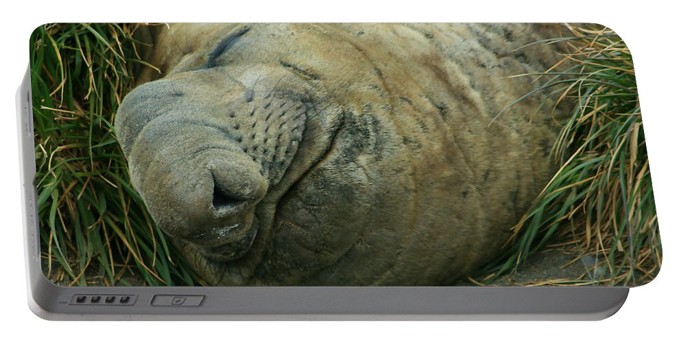 Adult Elephant Seal Portable Battery Charger featuring the photograph Southern Elephant Seal by Amanda Stadther