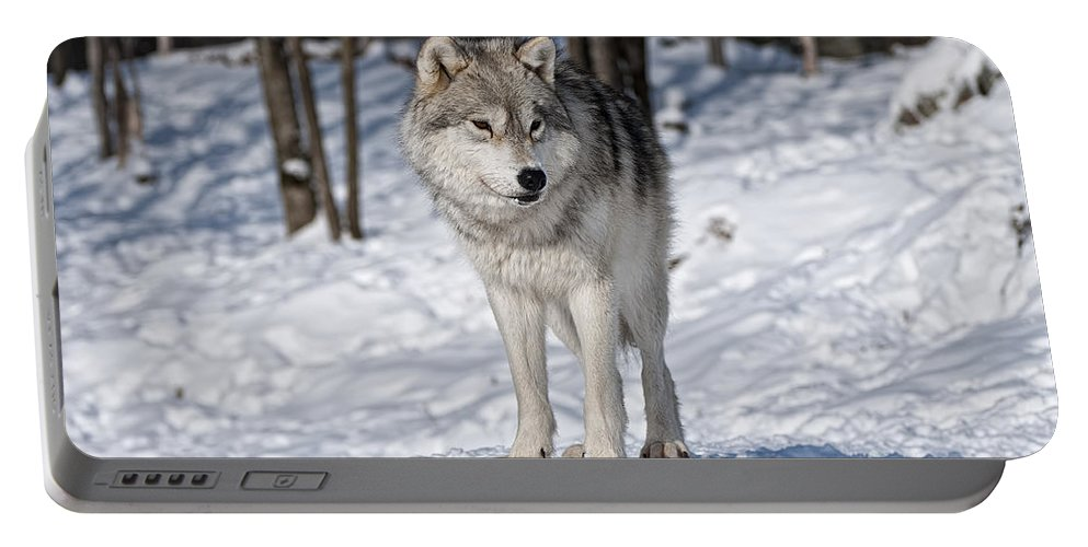 Arctic Wolf Photography Portable Battery Charger featuring the photograph Arctic Wolf by Wolves Only