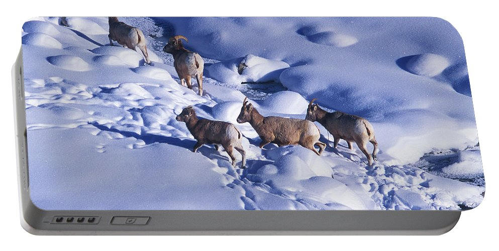 Animal Portable Battery Charger featuring the photograph A Group Of Bighorn Sheep Ovis by Todd Korol